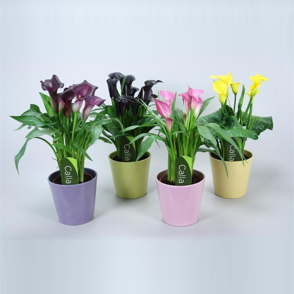 zantedeschia-en-pot-ceramique_380_0