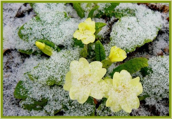 petite-neige-sur-les-primeveres-1916151904-1656135