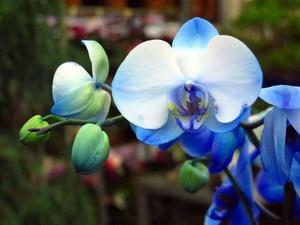 orchidee-fleur-bleue-medium-11807274