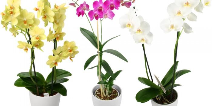 Comment bien choisir une orchidée ?