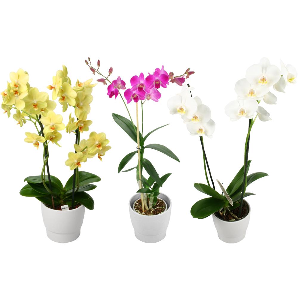 comment bien choisir une orchid e le paysagiste le. Black Bedroom Furniture Sets. Home Design Ideas
