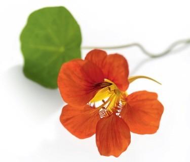 des fleurs qui se mangent le jardin dans votre assiettele paysagiste le paysagiste. Black Bedroom Furniture Sets. Home Design Ideas