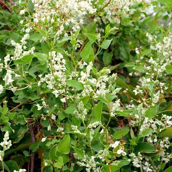 La Fallopia_baldschuanica ou Renouée d'Aubert agrementera pergola et traillis avec ses petites fleurs blanches.