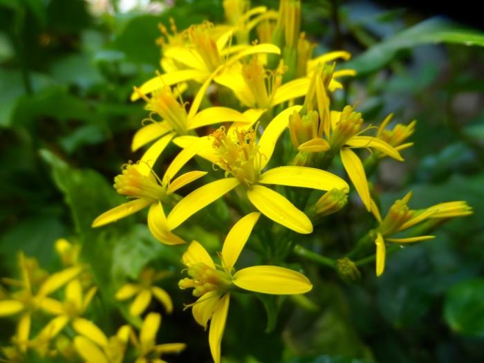Le senecon lierre égaiera votre mur à merveille, avec son feuillage vert brillant et ses fleurs jaunes éclatantes en début d'hiver