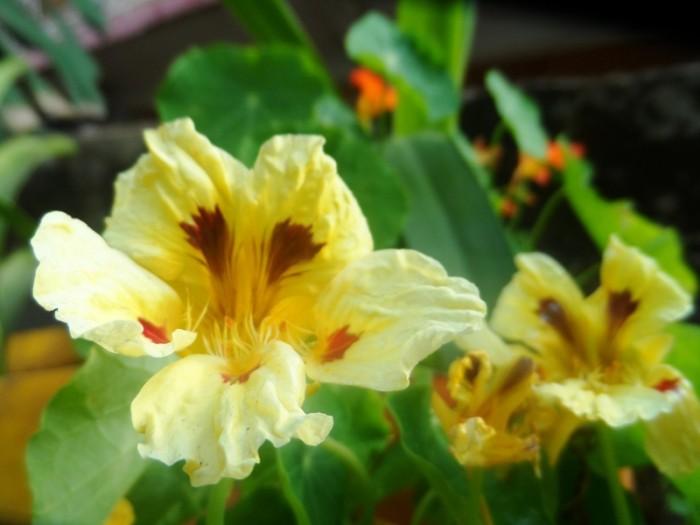 Avec différentes couleurs en option, la capucine est une plante facile à cultver.