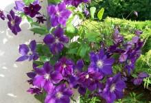 Bien choisir sa plante grimpante à fleur