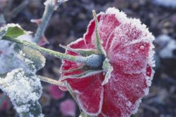 how-to-prepare-and-protect-your-roses-in-winter-1