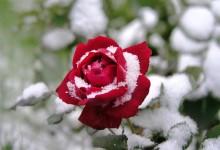 Comment protéger ses rosiers en hiver ?
