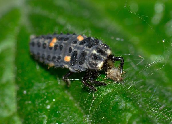 La larve de coccinelle est l'un des plus grands prédateurs de pucerons au jardin