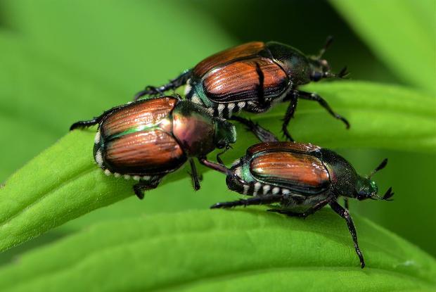 scarabaeidae-39524-a-sarrazin-scarabee-16
