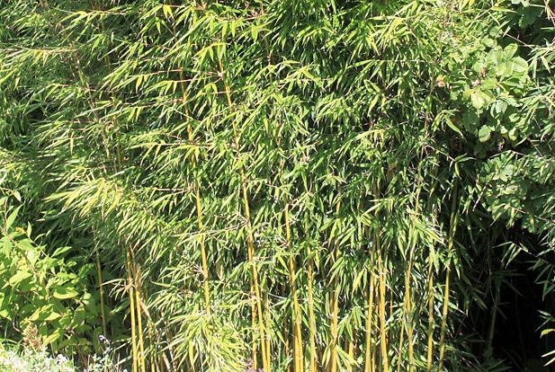 les pousses et chaumes des bambous composant la haie