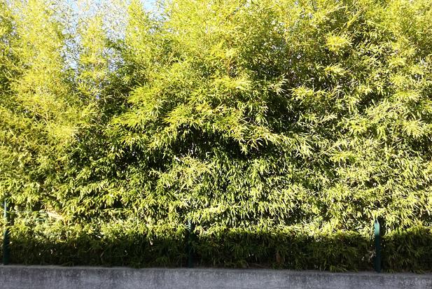 haie de bambou réalisée avec des bambous non traçant