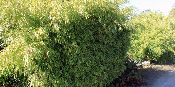 Choisir une haie de bambou comme brise vue