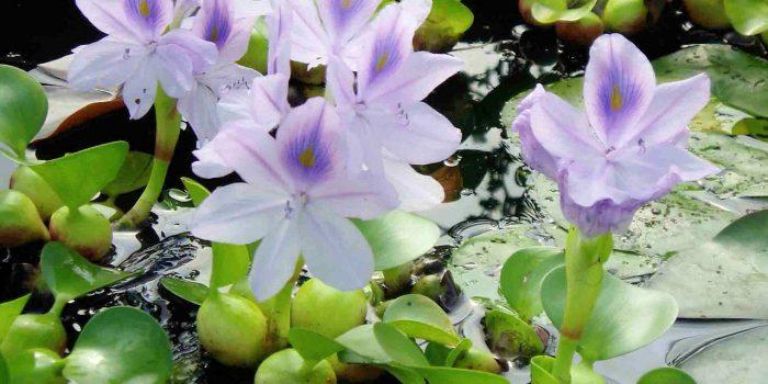 Les plantes aquatiques incontournables dans  le jardin
