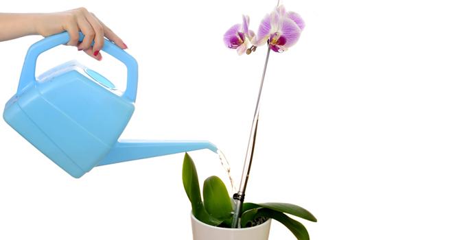 Comment viter qu 39 une orchid e ne se fane le paysagiste - Comment garder une orchidee ...