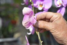 Comment éviter qu'une orchidée ne se fane ?