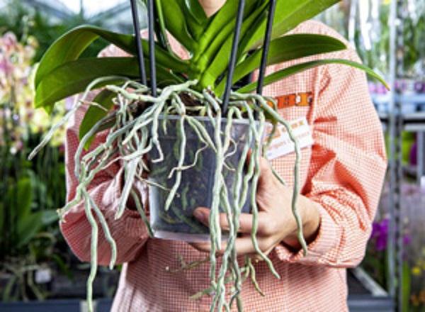 Comment viter qu 39 une orchid e ne se fane le paysagiste le paysagiste - Comment conserver une orchidee ...