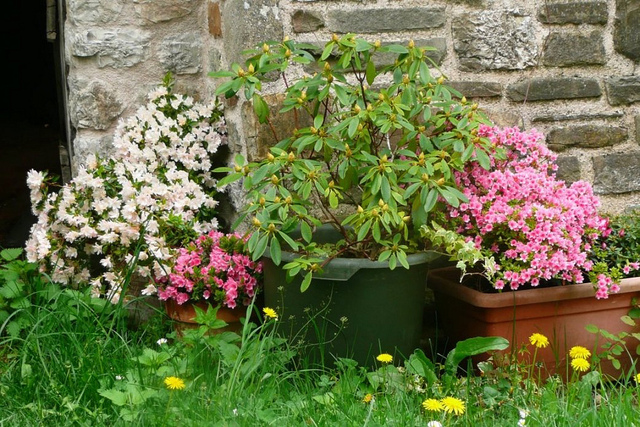 azalee-rhododendron-pot