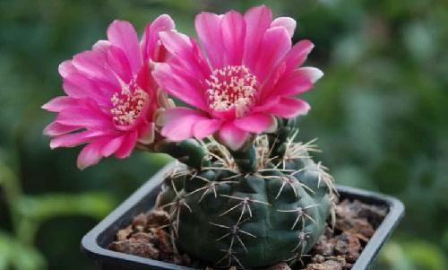 Mini-cactus Gymnocalycium