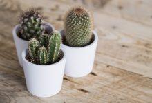 Comment prendre soin d'un mini-cactus ?