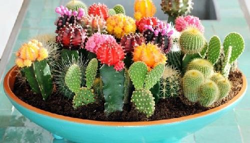 mini-cactus en fleurs