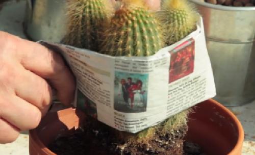 rempotage mini-cactus