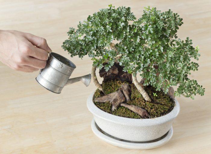Arrosage du bonsaïs