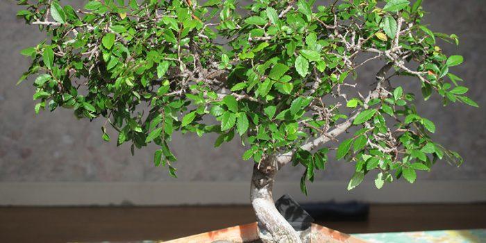 Conseils pour bien entretenir les bonsaïs