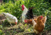 4 conseils quand on veut élever des poulets