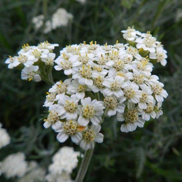 Achillea Crithmifolia