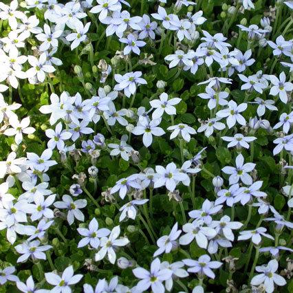 Le Pratia Pedunculata