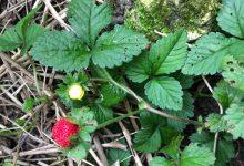 Tout savoir sur la plantation des fraises des Indes