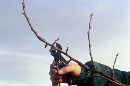 Le taillage des arbres