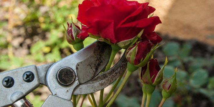 Taille des rosiers : comment bien les tailler ?