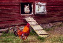 Pour réduire vos déchets, rien de mieux que des poules !