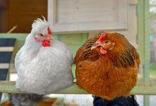 Poules en bonne santé pour un poulailler bien organisé