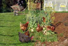Mieux connaître les poules