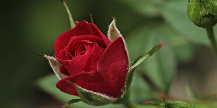 Une roseraie chez soi : nos meilleurs conseils pour créer un jardin de rose