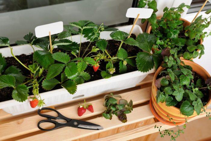 Les fruits à planter sur le balcon