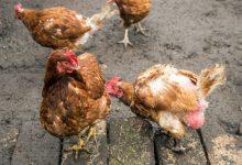 Se débarrasser des poux rouges chez la poule: les astuces efficaces