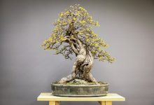 Pourquoi se lancer dans la culture de bonsai ?
